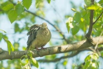 Mourning Dove. Zenaida macroura. Canon 5D III, 2.8 70-200 mm, 2x III. F 5.6, 1/1600, ISO 1600, 400 mm.