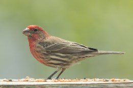House Finch. Carpodacus mexicanus. Canon 5D III, 2.8 70-200 mm, 2x III. F 5.6, 1/640, ISO 400, 400 mm.