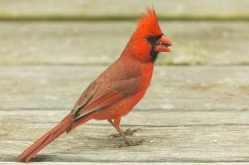 Cardinal. Cardinalis cardinalis. Canon 5D III, 2.8 70-200 mm, 2x III. F 7.1, 1/200, ISO 400, 400 mm.