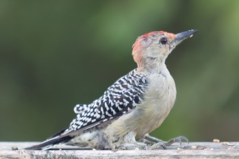 Red-bellied Woodpecker. Melanerpes carolinus. Canon 5D III, 2.8 70-200 mm, 2x III. F 5.6, 1/80. ISO 800, 400 mm.
