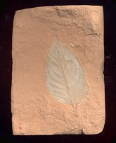 A white fossil leaf on a light red stone from Montana