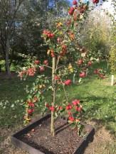 Yarlington Mill Cider Apples