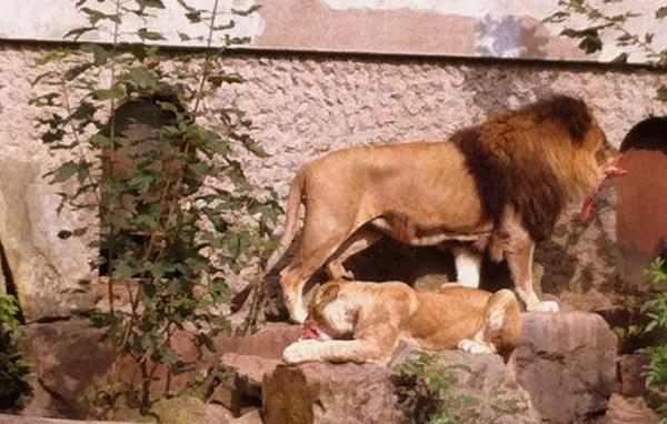 Artis Zoo Lions