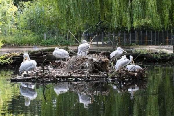 Planckendael Zoo Pelicans