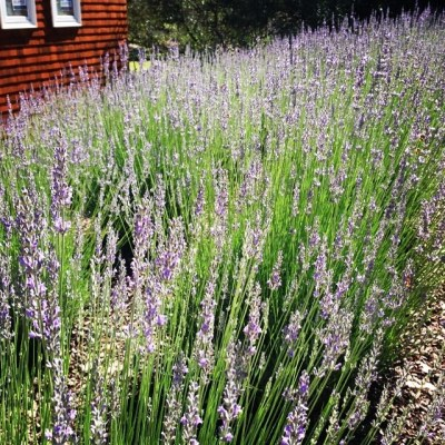 Lavender fields at Show the Love! #showthelovejewelry #lavender