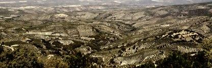 Sea of olives