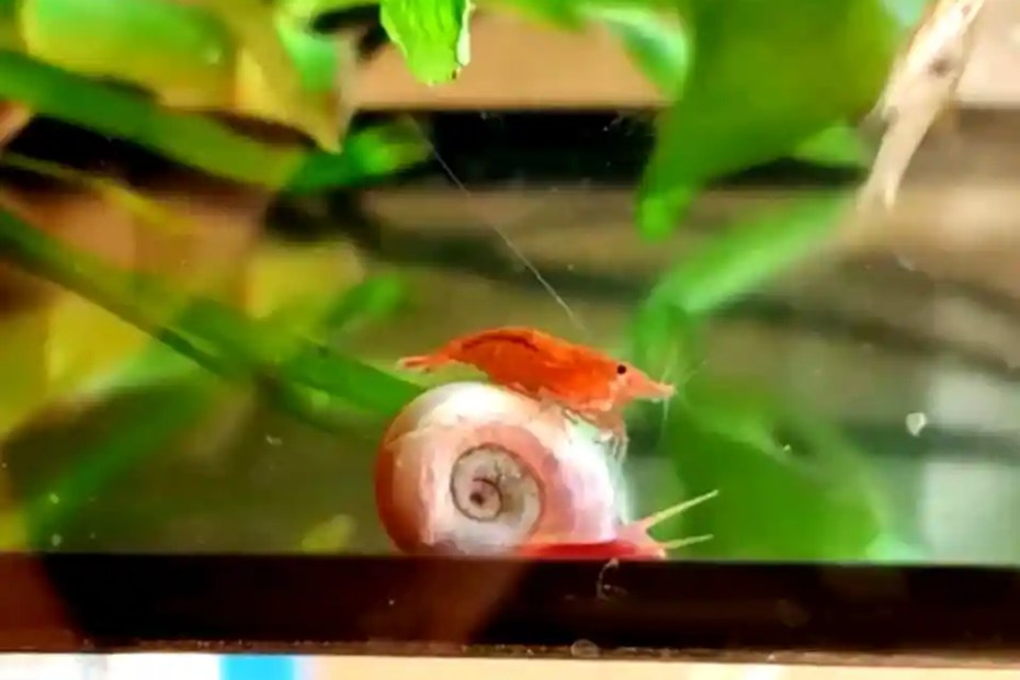 Shrimp riding a snail