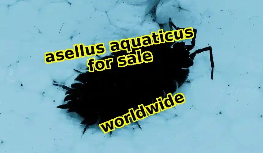 Asellus Aquaticus for sale worldwide