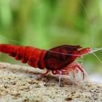 Wine Red Shrimp