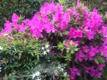 Easter azalea
