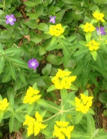 Easter vinca and euphorbia