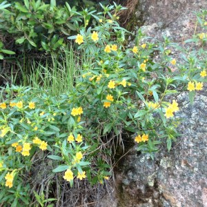 Pinnacles, Monkeyflower