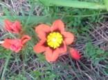 Pt. Reyes Harlequin flower 3.26.16