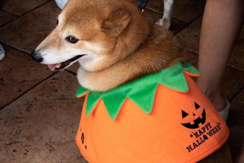 Doggy Halloween-Siba