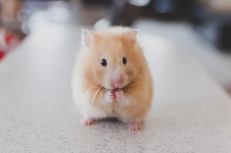 Image of one Syrian hamster standing on its hind legs.