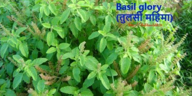 Basil glory !!