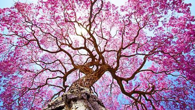 flowering trees.jpg.620x0_q80_crop-smart_upscale-true