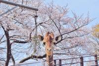 横浜 お花見 地元民 おすすめ 穴場 スポット ここだ 子ども 行く