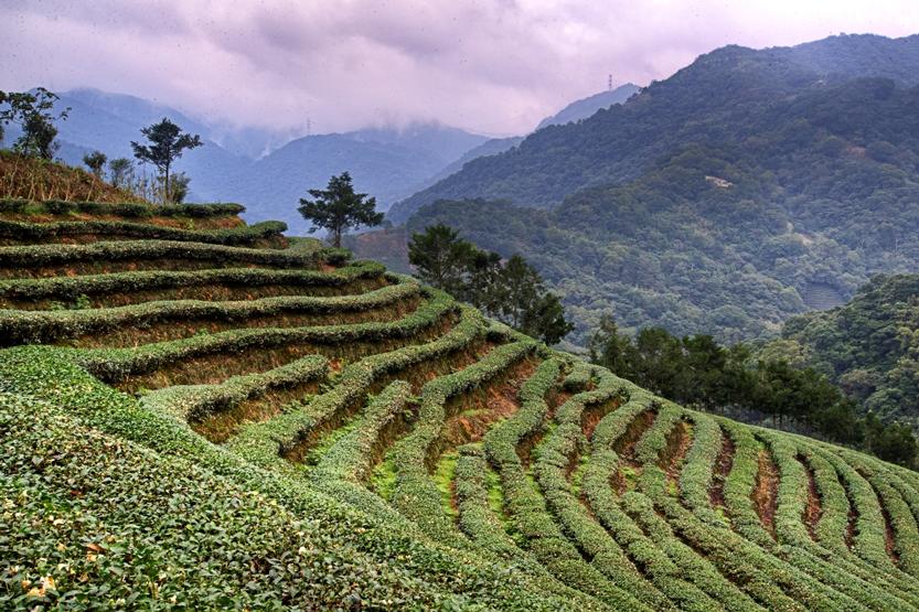 Tea Field 3