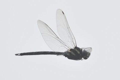 オオルリボシヤンマ