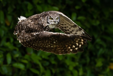 African Spotted Owl-3785