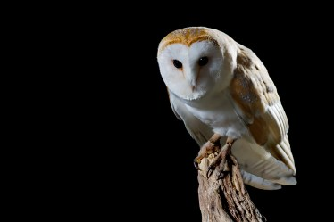 Barn Owl 2-0595