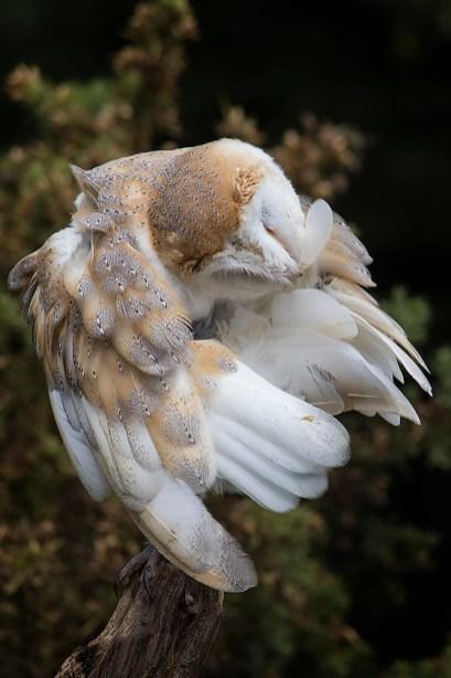 Barn Owl-6619