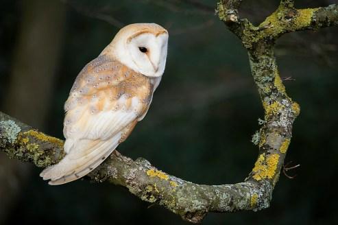 Barn Owl_0365