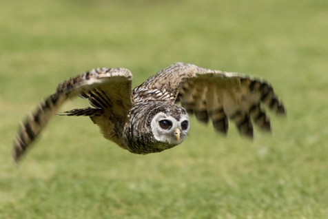 Chaco Owl-2474