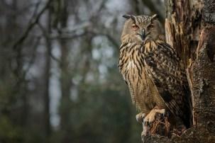 Euro Eagle Owl-2022