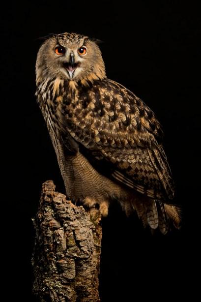 European Eagle Owl-9588