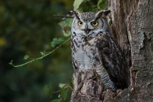 Great Horned Owl-4618