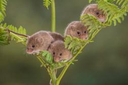 Harvest Mouse-2166