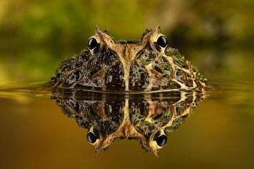 Horned Frog-6361