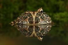 Horned Frog_1028