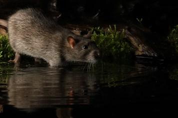Rat_0584