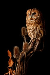 Tawny Owl-7086