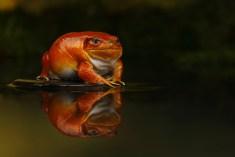 Tomato Frog_1014