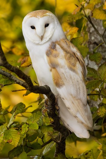 barn owl-4253