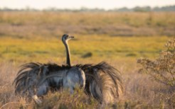 Greater Rhea/Nandoe