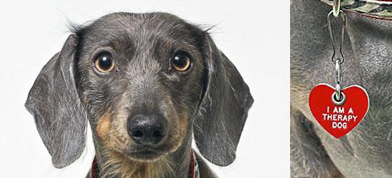Therapy Dog Team - TDinc - Dachshund - Shutter Hound Pet Photography - shutterhoundphotos.com