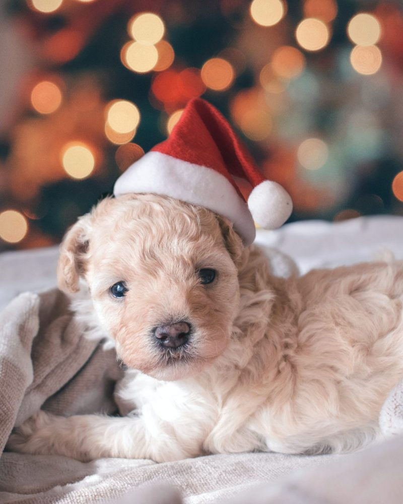More Christmas Gift Ideas for Your Dog