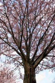 Cherry Blossom #09