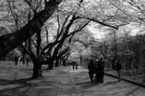 Cherry Blossom #18