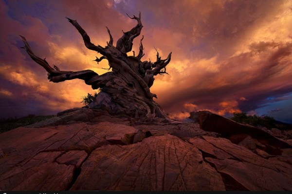 Dry tree and sunset