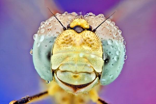 dragon fly in dew