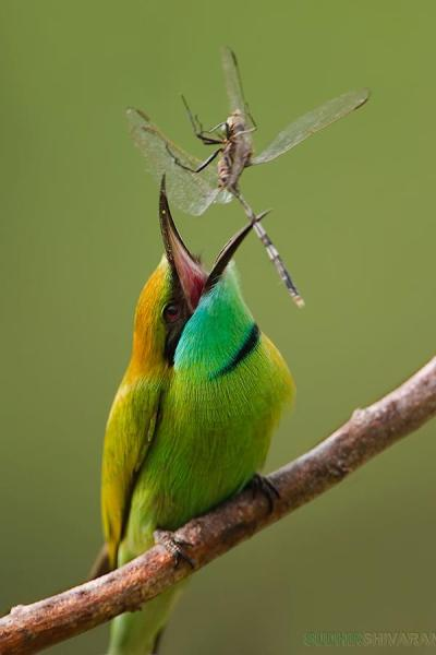 Bee eater catching a dragonfly