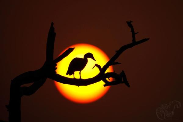 Silhouette bird against setting sun as backdrop