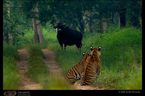 Tiger siblings watching a wild gaur