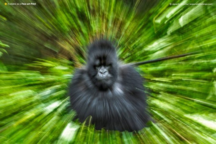 Zoom burst photograph of a gorilla
